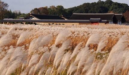 奈良必看世界遺產平城宮跡秋季蘆葦原風景